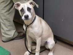 Meet MARIE, a young female adoptable Shepherd looking for a forever home. Florence, SC. Female puppy