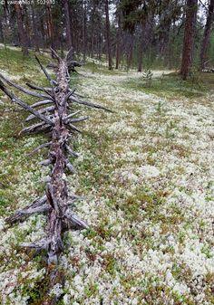 Tirronkangas - Lappi jäkälikkö männikkö poronjäkälä harmaaporonjäkälä metsä mänty jäkälä kangasmetsä Cladonia rangiferina kaatunut kelo