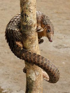 Long-tailed pangolin (Manis tetradactyla), also called the black-bellied pangolin, or ipi, is an arboreal pangolin belonging to the family Manidae. Native to parts of western and central Africa, the long tailed-pangolin has been found as far west and north as Senegal, across the continent to Uganda, and south into Angola.