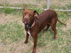 BABY - URGENT - BARC Animal Shelter in Houston, Texas - ADOPT OR FOSTER - 8 year old Spayed Female Am. Staffordshire Mix - at shelter since June 25, 2016