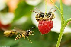 Beautiful hornets macro photography | Cool Animal World