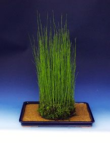 水トクサ (mizutokusa) Equisetum fluviatile