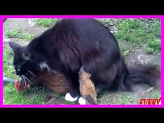 Amazing Cat Want To Mate With Chicken - YouTube