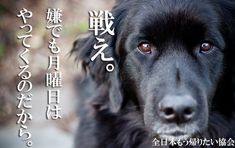 Funny Animals, Labrador Retriever, To Go, Japan, Words, Memes, Poster, Design, Labrador Retrievers