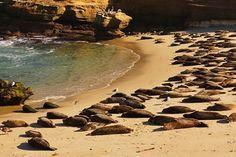 🇹🇷La Jolla kolonisinde yaklaşık 200 fok vardır.🇺🇸The La Jolla colony has about 200 seals.🇪🇸La colonia La Jolla tiene cerca de 200 sellos. #lajolla #sealbeach #sandiego #california #cute #animals #seal #beach #sd #lajollalocals #sandiegoconnection #sdlocals - posted by   https://www.instagram.com/zerilphotography. See more post on La Jolla at http://LaJollaLocals.com