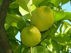Lemons from our grove