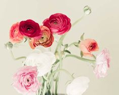 Hey, I found this really awesome Etsy listing at https://www.etsy.com/listing/54625208/nature-photography-ranunculus-pink-coral