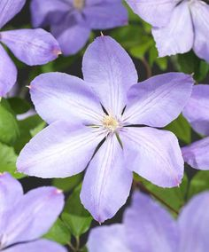 Clematis 'Mrs. Cholmondeley' | Specials from Spalding Bulb