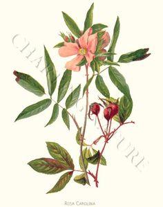 'Rose Carolina'  restored antique giclee print using archival inks on archival paper - via Charting Nature. http://www.chartingnature.com/flower-print.cfm/swamp-rose-rosa-carolina-rose-art-print/6168