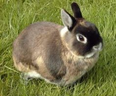 Dwarf rabbits, different breeds, and things to consider