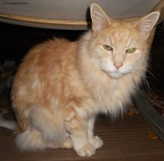 Hercules Champion, a #MaineCoon #cat customer in #Kirkham #Lancashire following his #mobile #catgrooming session