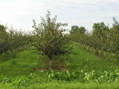 Vrei sa infiintezi o livada ori sa plantezi pomi fructiferi in gradina ta? Afla tot ce trebuie sa stii despre cultivarea si ingrijirea pomilor fructiferi! Par, Mar, prun, visin, altoire, taiere