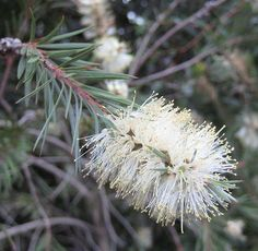 White bottle brush (Melaleuca salicina)