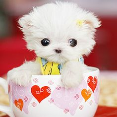  I'm A Little Tea Pup Furry and Cute - Maltese Puppy