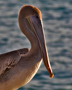 """Bonaire Pelican at Sunset""  by Anthony Horpel  Betterphoto.com"