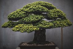There is a Japanese white pine bonsai tree thatis nearly 400 years old attheNational Bonsai and Penjing Museumin Washington D.C. But age is not the only...