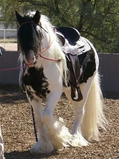 Desert Jewel Tinker jalen says OK for a day I am pretending this is my pony..but in my dreams IT IS FOR REAL~