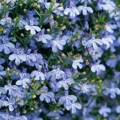 Laguna Sky Blue from Proven Winners has soft blue flowers that bloom all season on cascading, well-branched plants. This low-maintenance annual does not require deadheading and has great summer performance. Lobelia Flowers, Planting Flowers, Flowers Garden, Shaded Garden, Potted Flowers, Flowering Plants, Potted Plants, Indoor Plants, Hanging Baskets