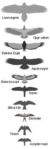 Range of wings RT Bird of prey - Wikipedia, the free encyclopedia