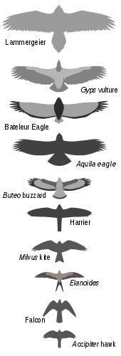 Bird of prey - Wikipedia, the free encyclopedia