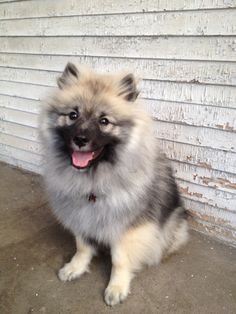 My keeshond puppy named Baarlo. #keeshond #puppies #dogs #pets