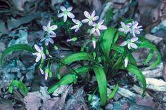 Claytonia virginica - Perennial