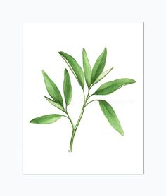 "Sage Herb Art, Original Watercolor Painting of Sage Plant, Kitchen Art Botanical Illustration, Green Leaf Watercolour Culinary Art 10""X8"""