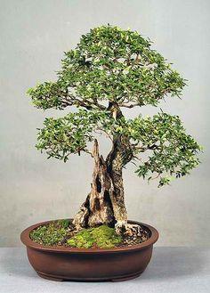 indoor bonsai?   Easy Indoor Bonsai Trees - 10 Packs of Fresh Seed - #9   eBay
