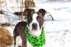 SAFE - 03/05/15 by The Animal Haven Inc. --- Staten Island Center   HINATA - A1027851  FEMALE, BROWN / WHITE, PIT BULL MIX, 3 yrs STRAY - STRAY WAIT, NO HOLD Reason STRAY  Intake condition EXAM REQ Intake Date 02/12/2015 Main Thread: https://www.facebook.com/photo.php?fbid=964147100264836