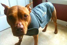 Thundershirt on pit bull Lulu