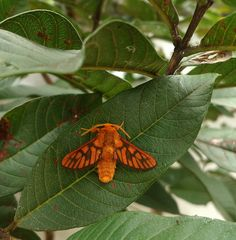 moth M