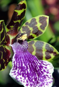 Ladybird Orchid