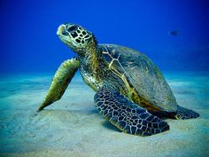 Sea #turtle. #blue