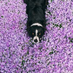 Find Momo   The playful adventures of a hiding border collie.