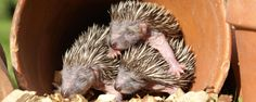 BBC - Earth - Living in harmony with hedgehogs