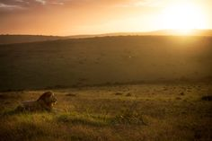 African-sunrise-with-a-lion