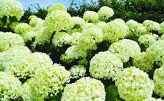 Hydrangeas: consistent colour