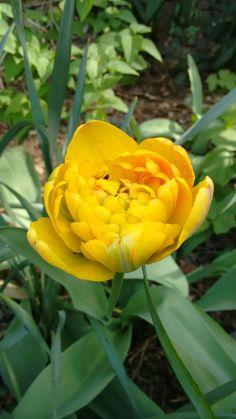 Yellow Pomponette Sunshine, Rose, Flowers, Plants, Pink, Nikko, Plant, Roses, Royal Icing Flowers