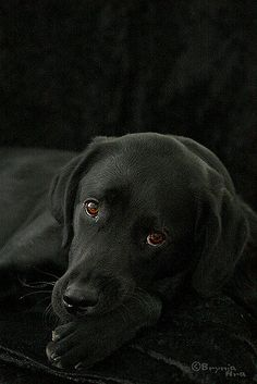 Pet Dogs, Dogs And Puppies, Dog Cat, Corgi Puppies, Doggies, Pets, Weiner Dogs, Labrador Retriever Negro, Labrador Retrievers