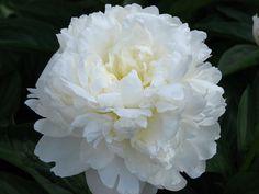 File:Paeonia 'Amalia Olson' 01.JPG