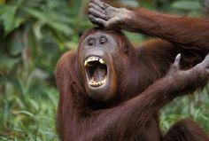 immagini del web | Solletico alle scimmie fa luce sull'origine della risata - Focus.it