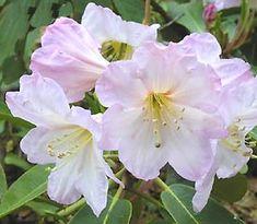 Rhododendron decorum: evergreen, with a vanilla scent