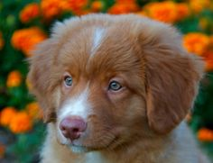 Nova Scotia duck toller pup. The dog Joe and I have decided on! :) Now we are just saving up!