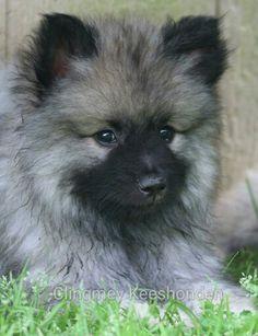 Clingmey keeshond puppy