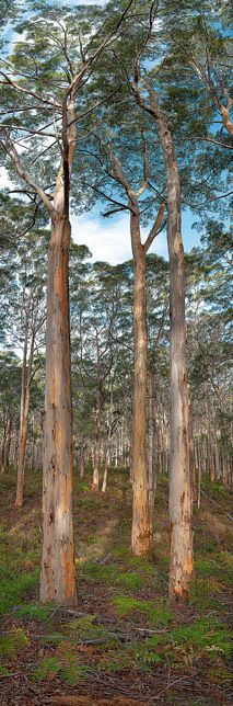Boranup Forest - Wilderness Photography - South Western Australia - - B J K - Images of Western Australia