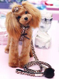 I like this cut #toypoodle #poodle