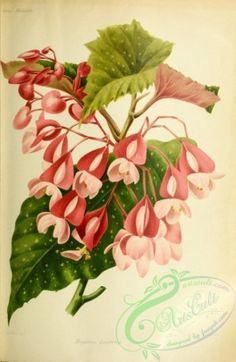 flowers-29681 - begonia lucerna [2305x3537] - natural 1900s ArtsCult.com printable engravings 1800s Artscult nice instant download Victorian wall illustration domain 17th 1700s collage collection old flower art 18th Pictorial craft nature paintings plants pack transfer pages royalty public use century books clipart decoration Paper blooming ornaments flowers scrapbooking  botanical floral fabric Graphic commercial qulity vintage flora supplies digital naturalist pre-1923 lithographs…