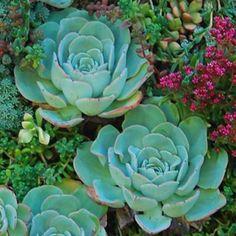 Echeveria 'Atlantis' - Avant Gardens Nursery & Design