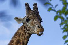 Girafe qui pose pour la photo ! by fla75005 on 500px