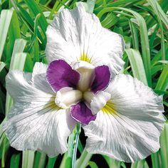 Iris are easy and rewarding to grow. Dependable flowers with incredible color combinations and showy blooms make Iris a popular choice for home gardens. Iris Flowers, Types Of Flowers, Large Flowers, Spring Flowers, Colorful Plants, Colorful Flowers, Clematis, Iris Garden, Shaded Garden